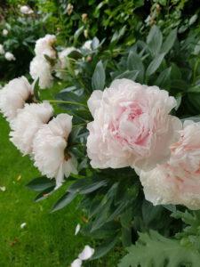 Pfingstrosen im Juni. Ein Blütenzauber der zum Malen einlädt.